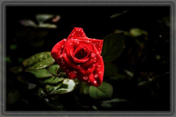 ...rosa brinata...