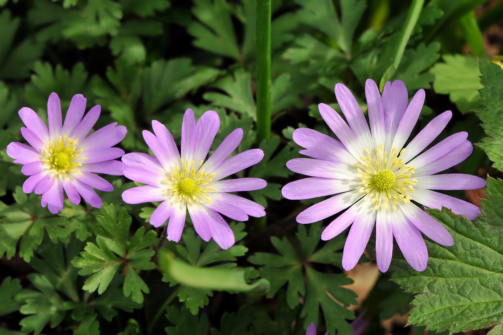 Rosa Buschwindröschen (Anemone nemorosa)