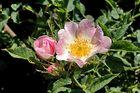 Rosa canina Parco fiume Oglio