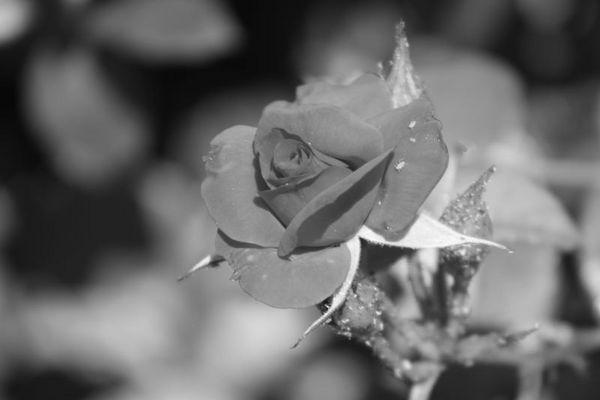 rosa (con bichito :P)