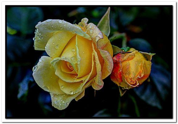 Rosa con bocciolo e.....gocce di pioggia.