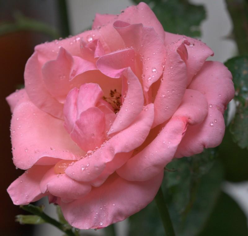 rosa con rocio