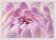 rosa Dahlie