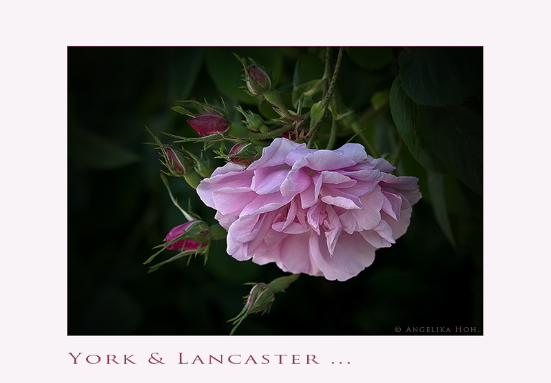 Rosa damascena - York and Lancaster