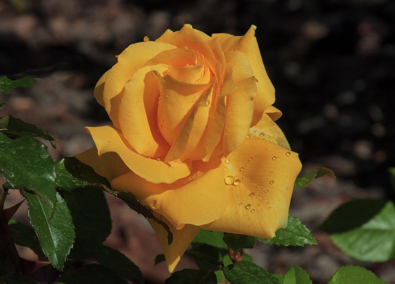 ROSA DE ABRIL (Dedicado a mi amigo Amado Calvo Marcos)