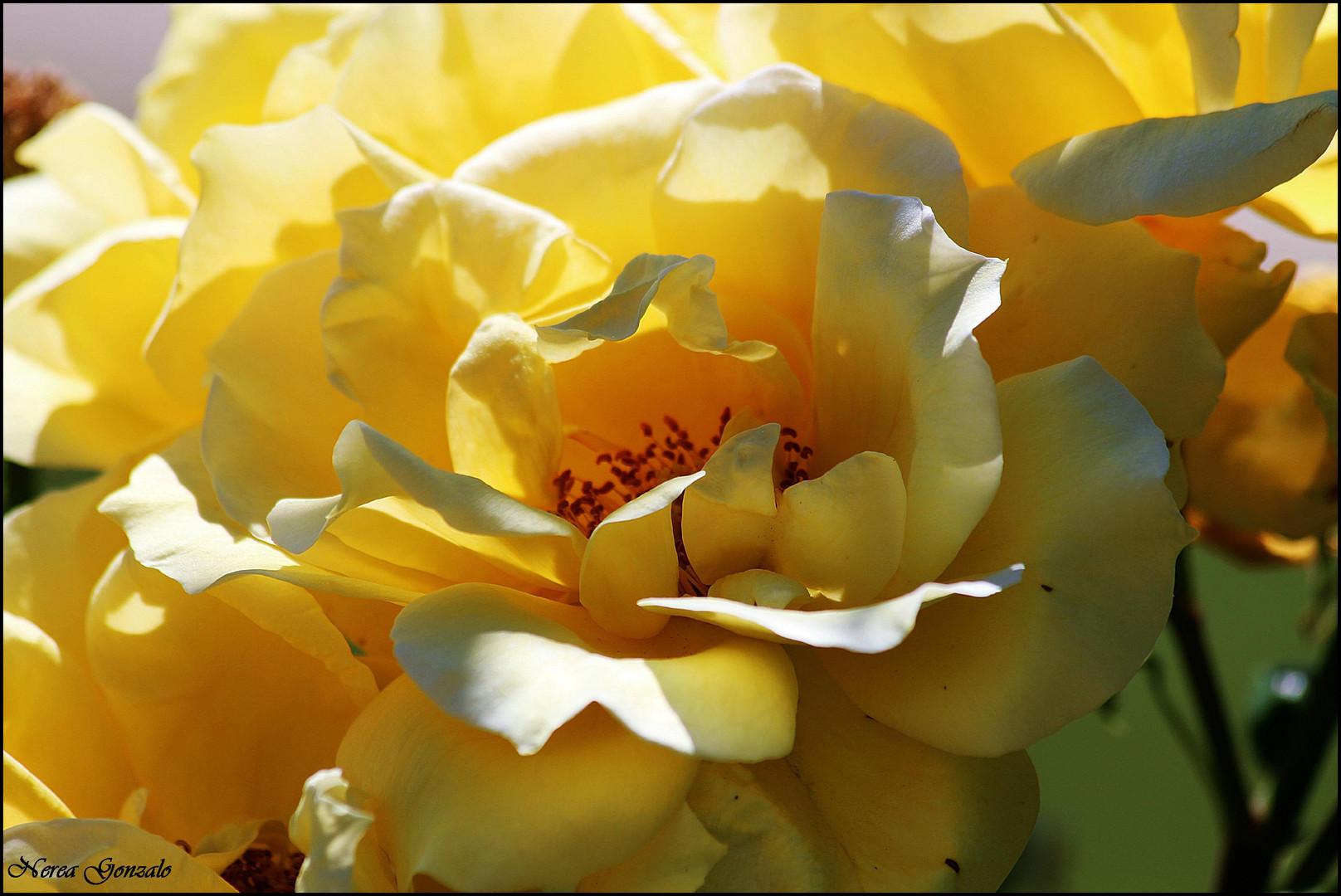 rosa de alejandria, rosa amarilla...