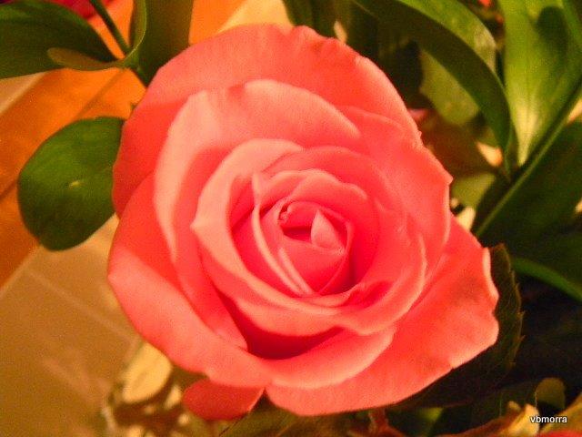 Rosa de amor leve