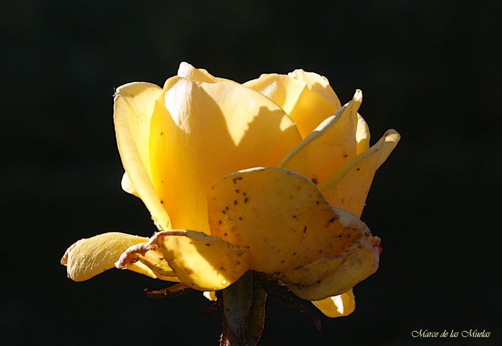 ...rosa de invierno 2...
