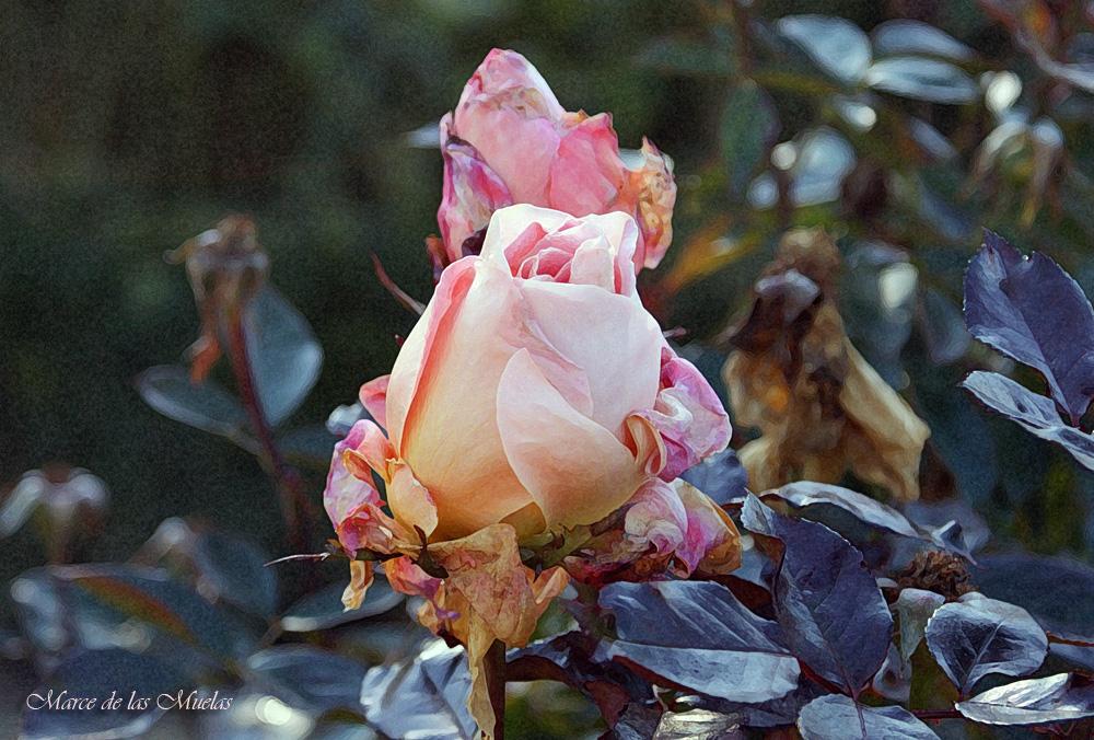 ...rosa de invierno...