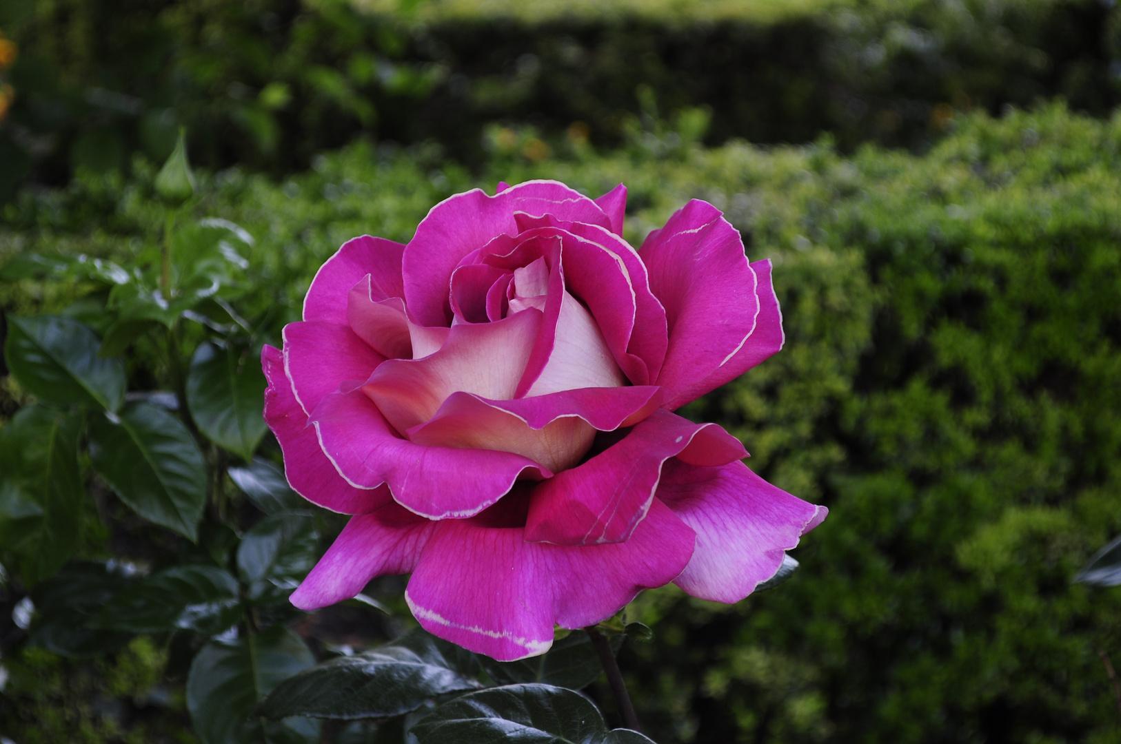 rosa de la alhambra
