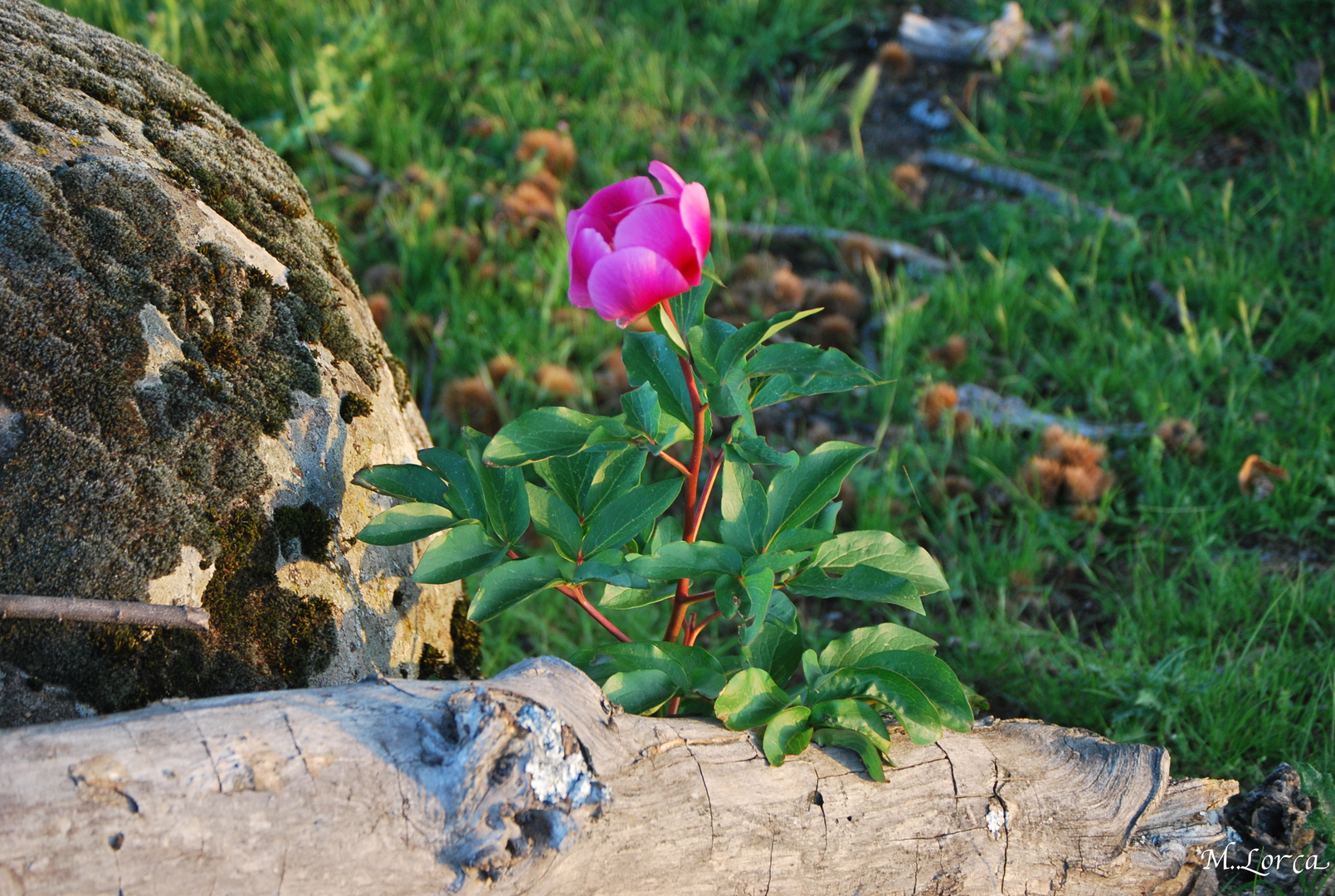 rosa de lagarto