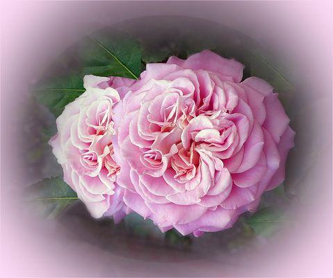 Rosa  de mi  jardin en  verano