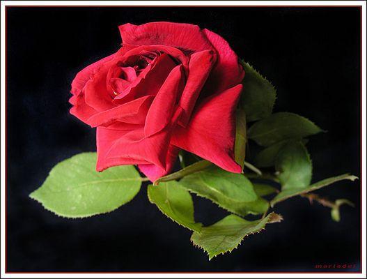 Rosa de Seda
