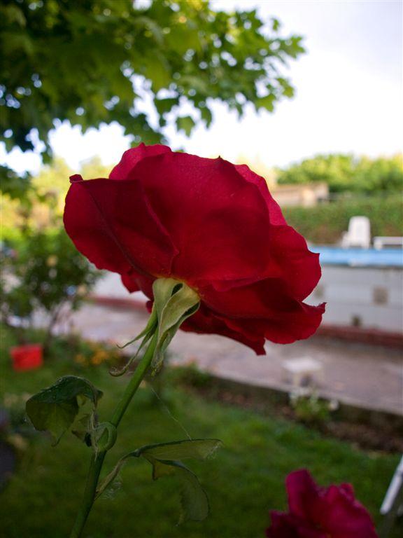 rosa desde atras