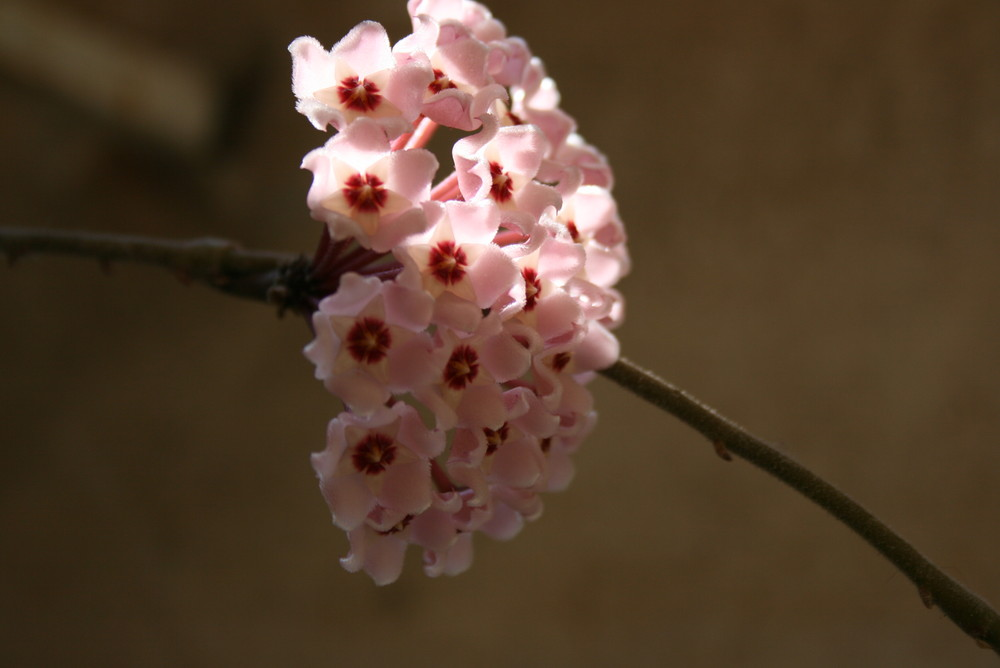 rosa di colore