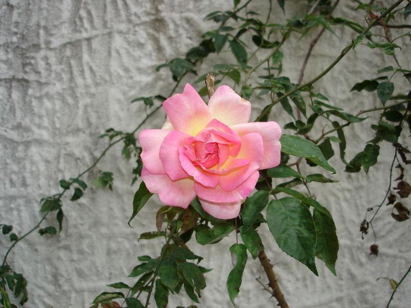 Rosa e Amarelo