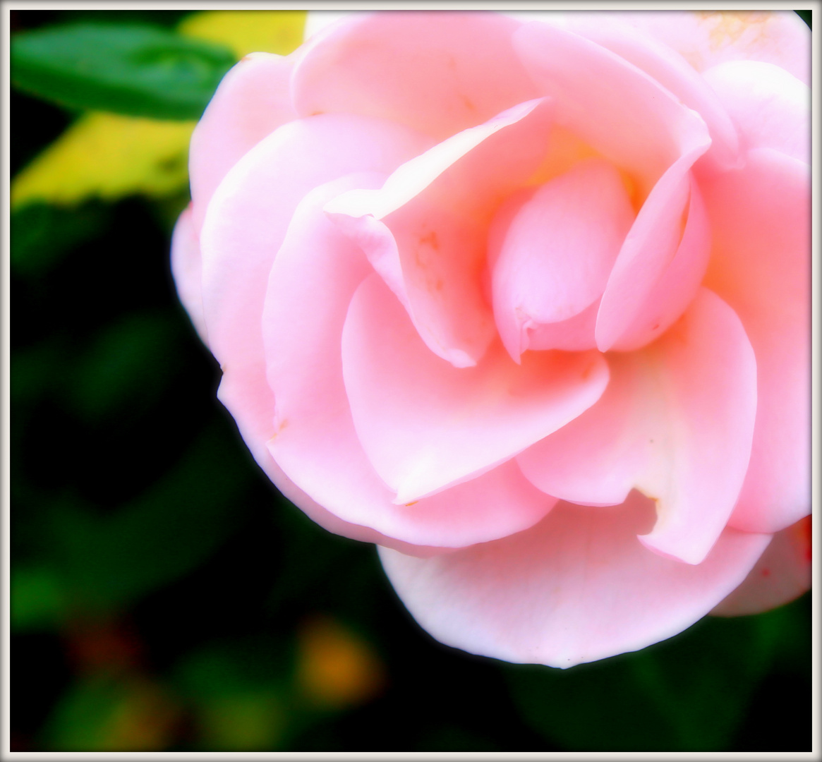 rosa en arnsberg