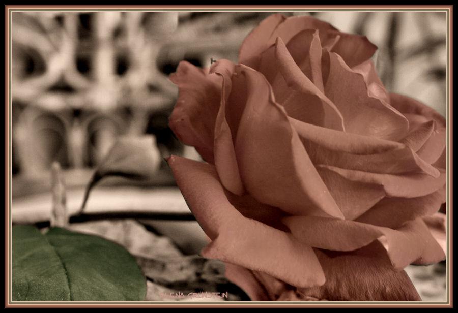 Rosa en pálido ( Rose in pale )