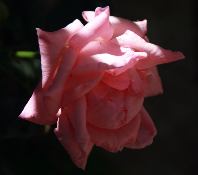 rosa en penumbras