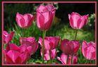 Rosa Frühling
