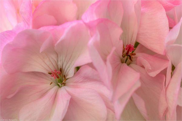 Rosa Geranien - Pelargonium