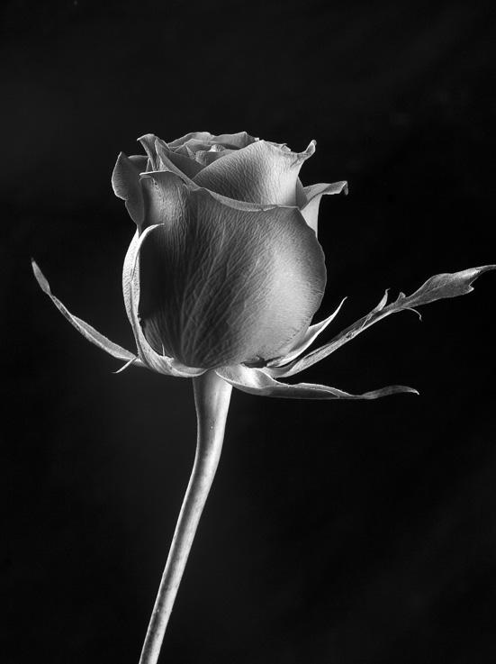 rosa in bianco e nero