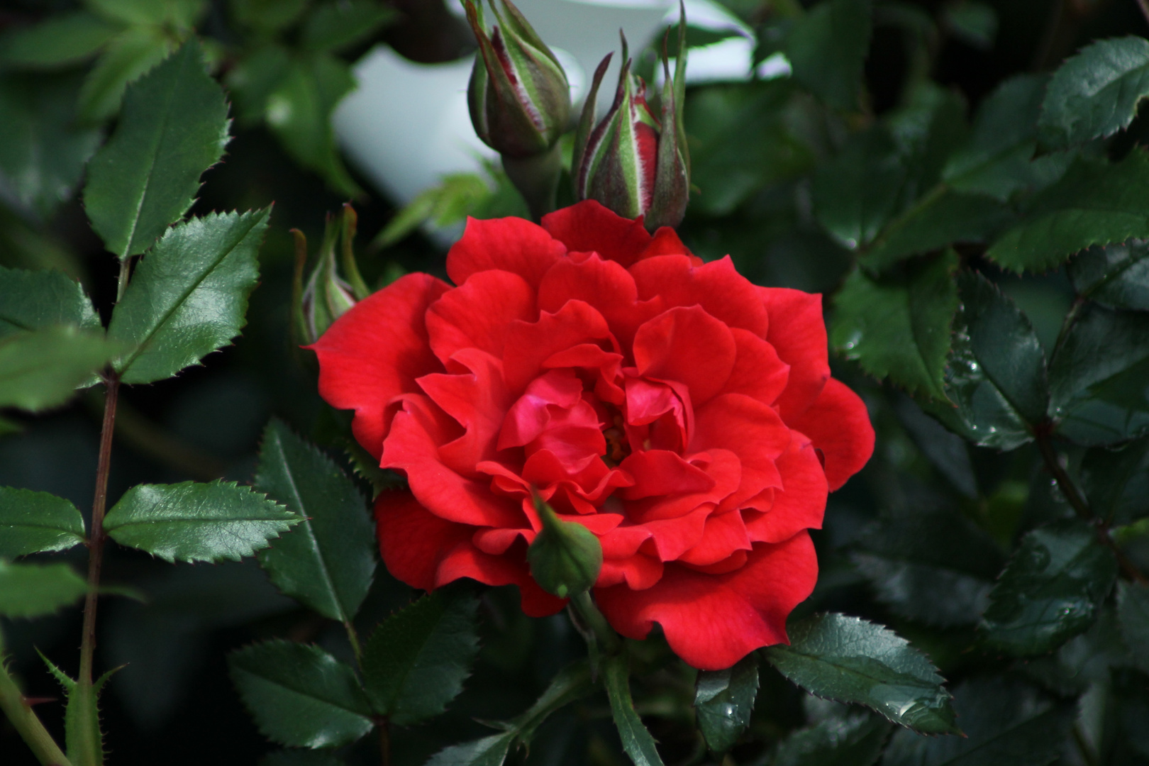 Rosa 'Limesglut'