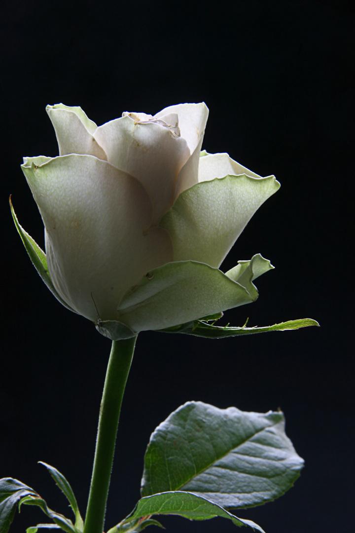 Rosa mit grün