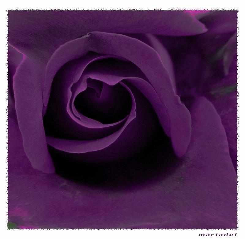 Rosa morada