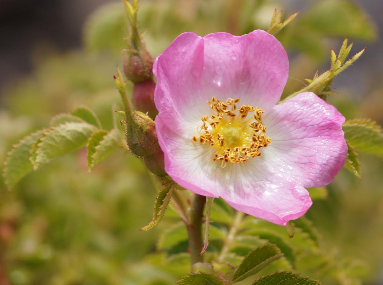rosa mosqueta...