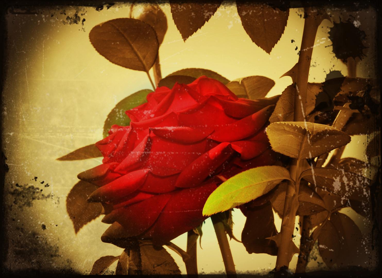 Rosa nostálgica