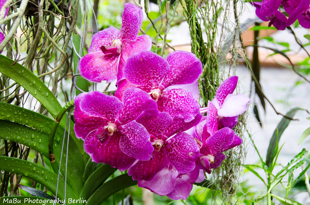 Rosa Orchideen - Rosa Orchids