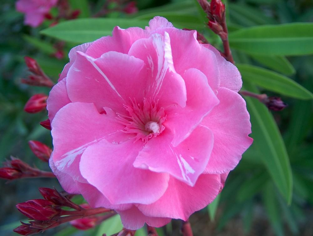 rosa Pracht