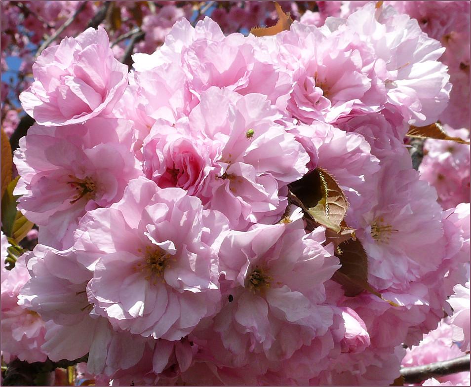 ...rosa Pracht...