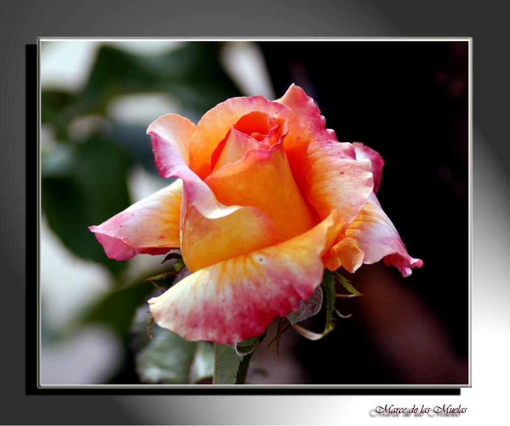 Rosa princesa