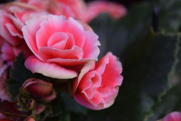 Rosa profumata