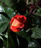 Rosa profumata dedicata a Nicoletta