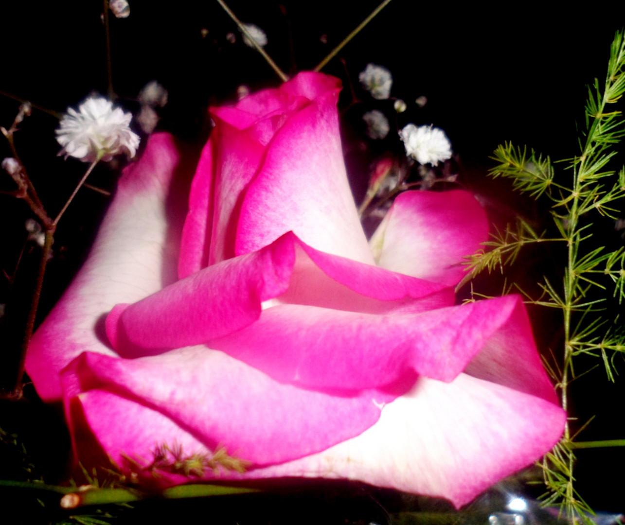 Rosa que cayo....