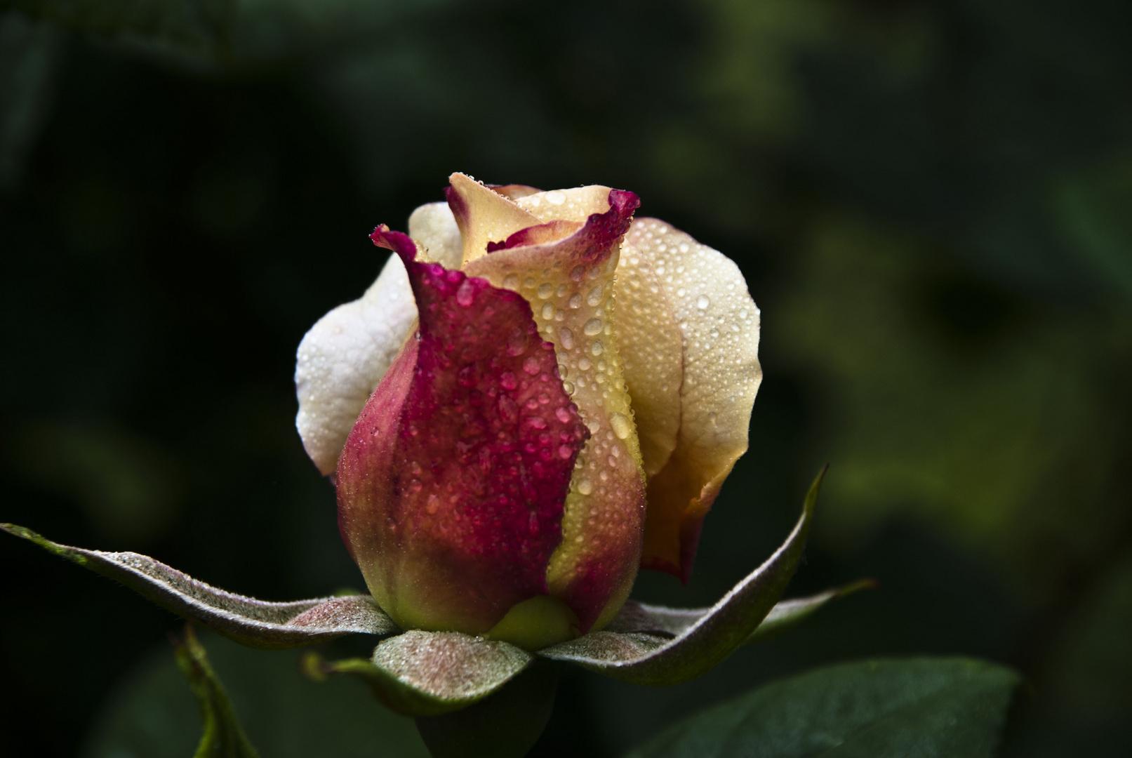 Rosa rociera