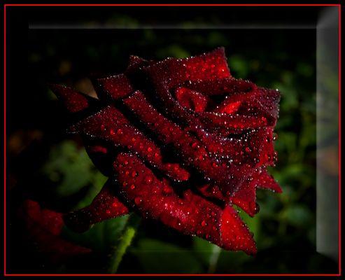 Rosa roja mojada