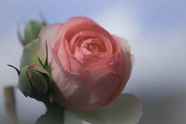 rosa rosa,