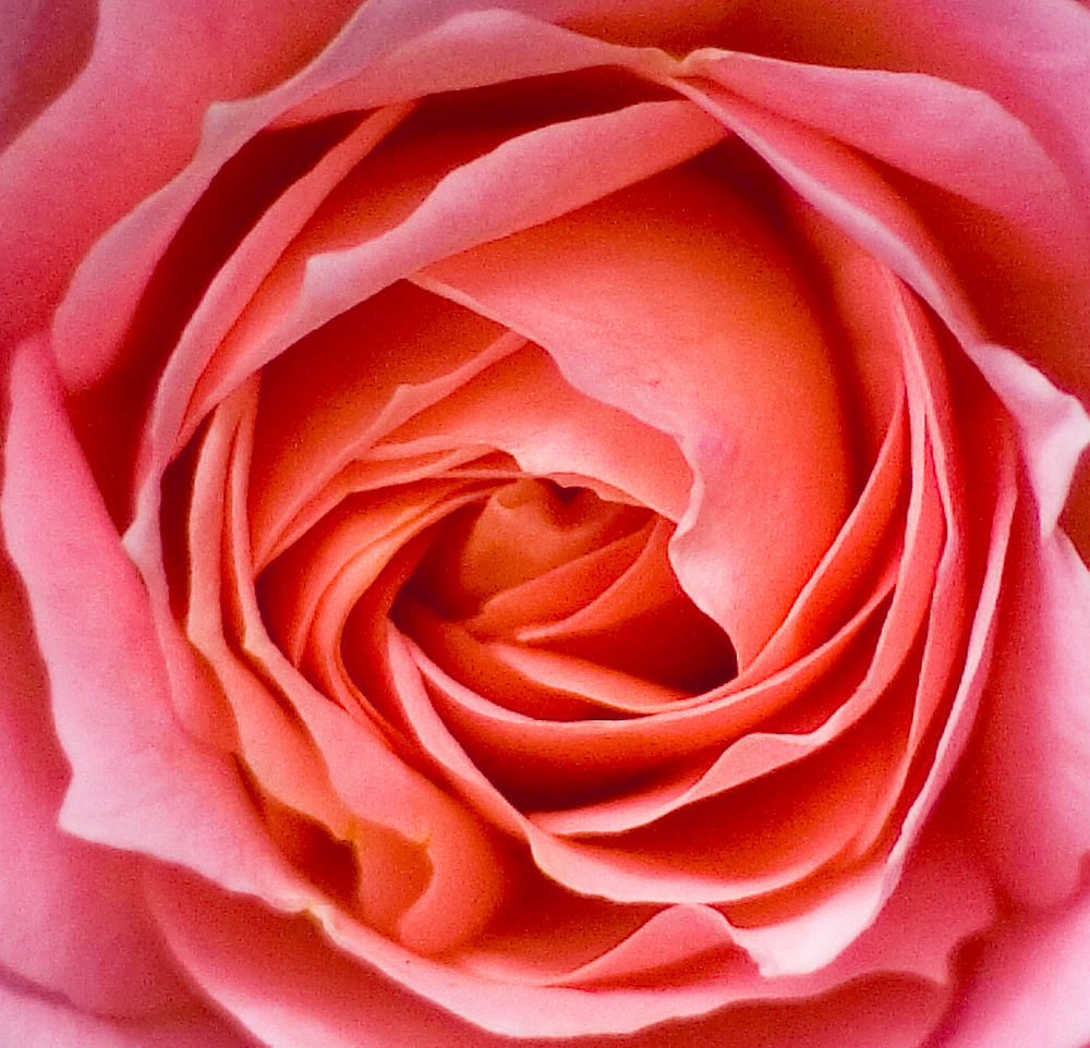 rosa rose foto bild pflanzen pilze flechten bl ten. Black Bedroom Furniture Sets. Home Design Ideas