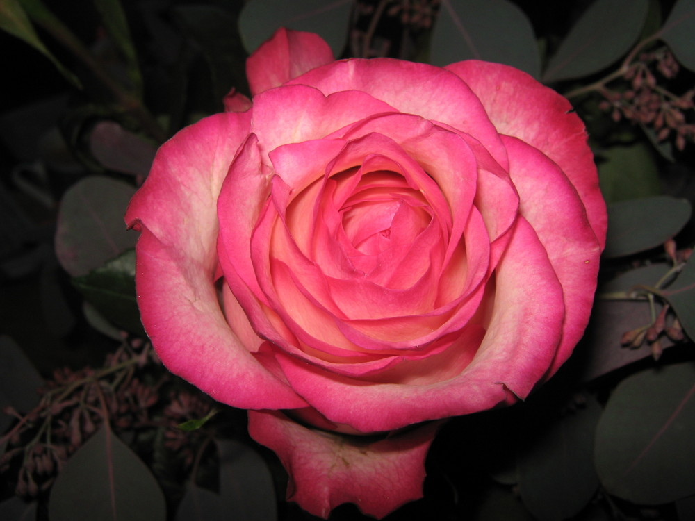 °rosa Rose°