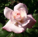 Rosa Rose im Rosarium am Donaukanal