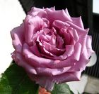 rosa Rose zum Wochenanfang