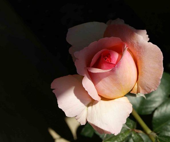 Rosa Rosen zum Zweiten....