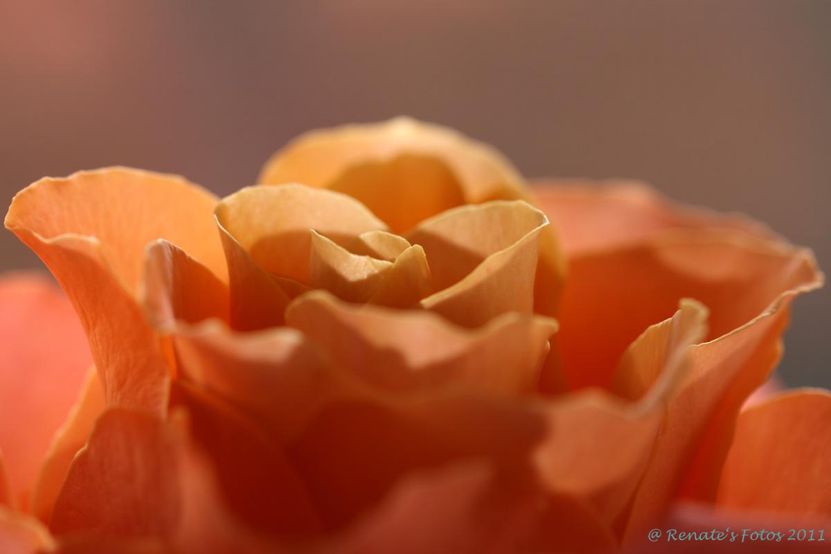 rosa Rosenblüte No 2