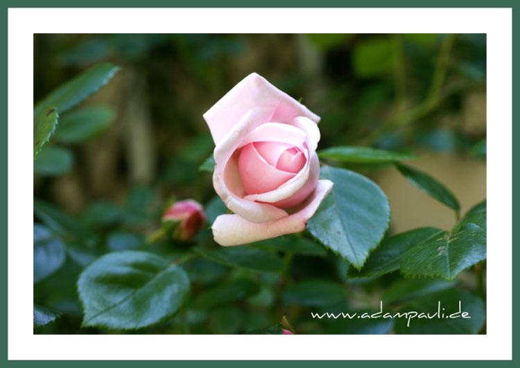 rosa rosenknospe
