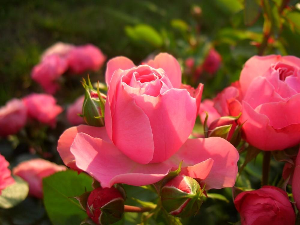 rosa Rosenpracht
