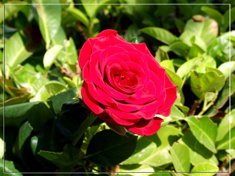 Rosa Rossa 2